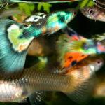 Аквариумная рыбка гуппи, содержание и уход
