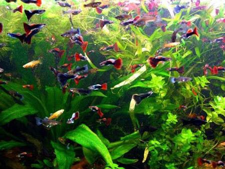 много живородящих рыбок гуппи