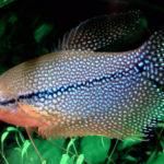 Аквариумная рыбка гурами, уход и содержание