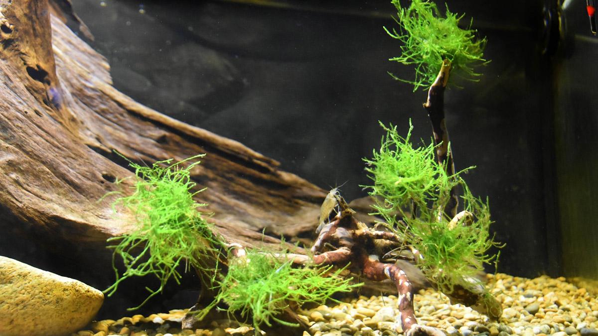 яванский мох на коряге