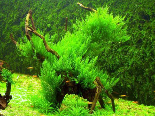 яванский мох в аквариуме