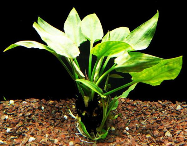 криптокорина с округлыми листьями