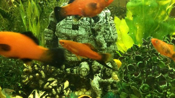меченосец в аквариуме