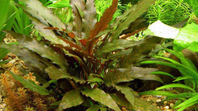 растение криптокорина