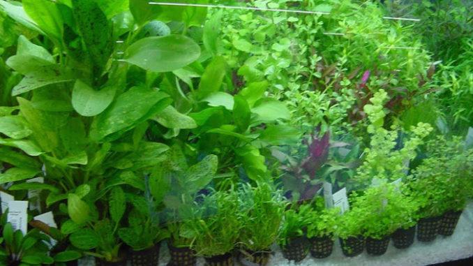 растения в горшочках в аквариуме