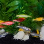 Рыбки данио, содержание и уход
