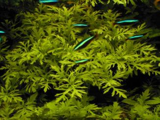 аквариумное растение гигрофила